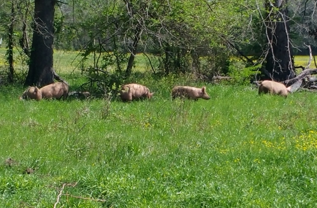 O3 Pigs in Spring Pasture 2016